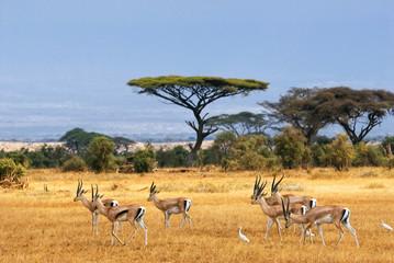 Fototapeta Grant's gazelles