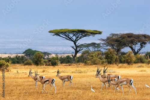 Photo Stands South Africa Grant's gazelles