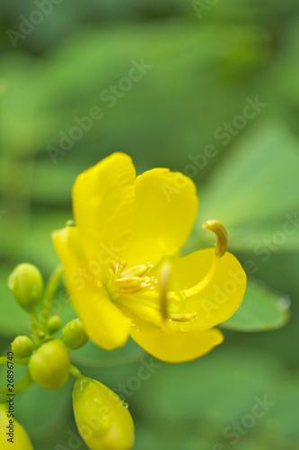 Fotografia  センナの花