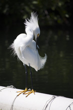 Snowy Egret Grooming On A Pipe