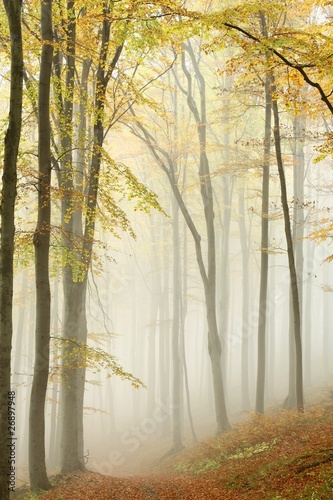 Papiers peints Foret brouillard Misty autumn beech forest in a nature reserve