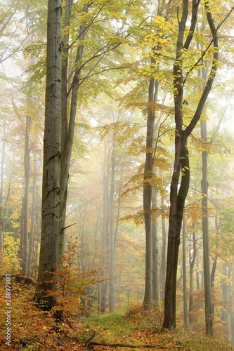 Papiers peints Foret brouillard Path in misty autumn beech forest in a nature reserve