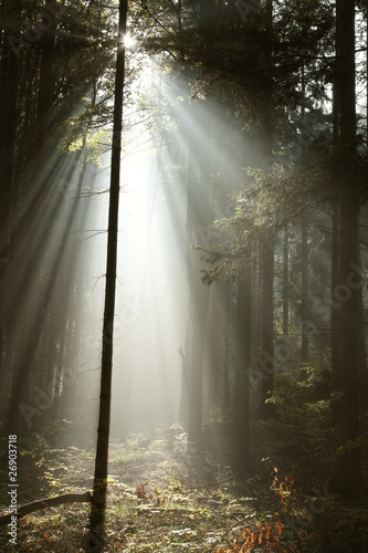 Papiers peints Foret brouillard Misty coniferous forest backlit by the morning sunlight
