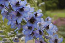 Bumblebee On Blue Delphinium Flowers