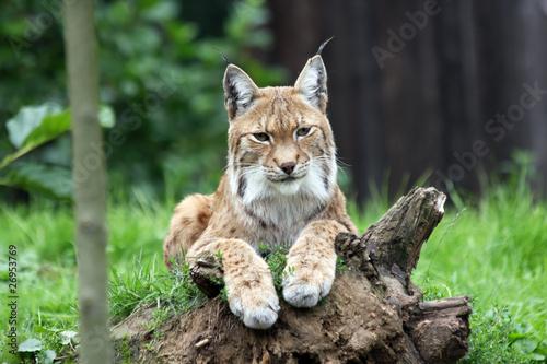 european lynx Tapéta, Fotótapéta