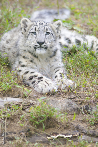 Tuinposter Luipaard Cute 4 month old baby snow leopard
