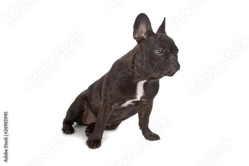 La pose en embrasure Bouledogue français French Bulldog