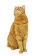 Leinwandbild Motiv Red cat sitting and looking up