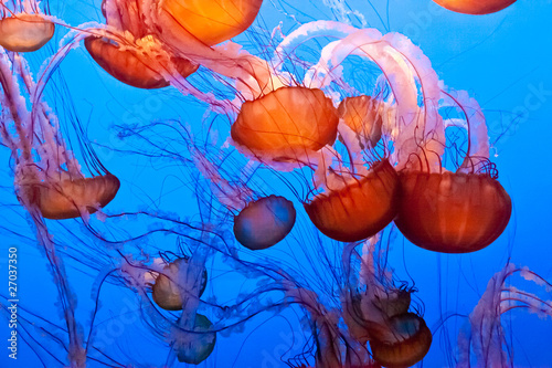 Fotografie, Obraz  Pacific Sea Nettle