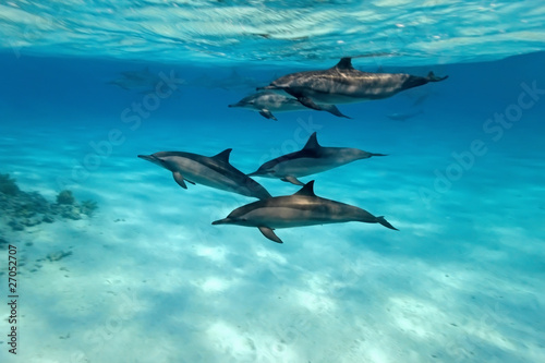 Photo sur Aluminium Dauphin Dolphins in the sea