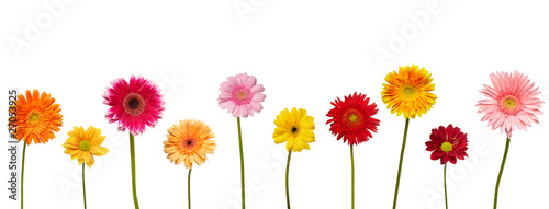 Poster Gerbera flower nature garden botany daisy bloom