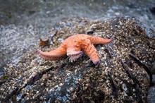 Ochre Sea Star On A Rock