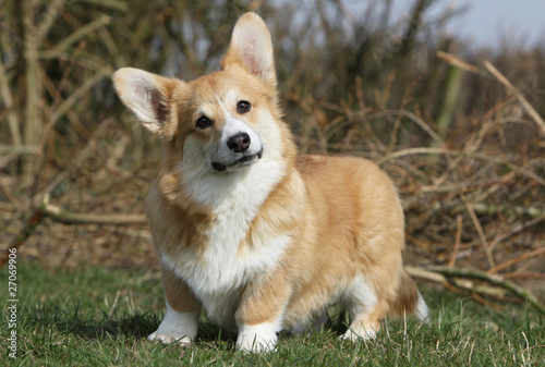 Photo air farceur du welsh corgi