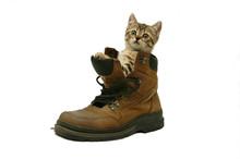 Sweet Little Cat In A Big Shoe
