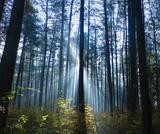 Fototapeta  - Las sosnowy podsadzony bukiem z promieniami słońca