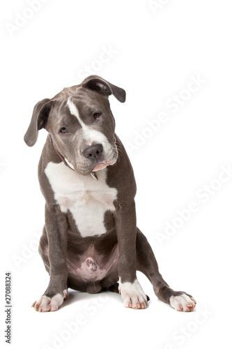 Carta da parati american staffordshire bull terrier