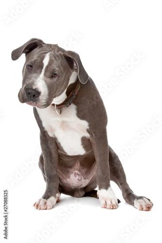 Valokuva  american staffordshire bull terrier