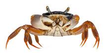 Patriot Crab, Cardisoma Armatu...