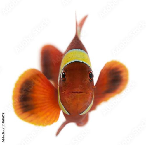 Fotografie, Obraz  Maroon clownfish, Premnas biaculeatus