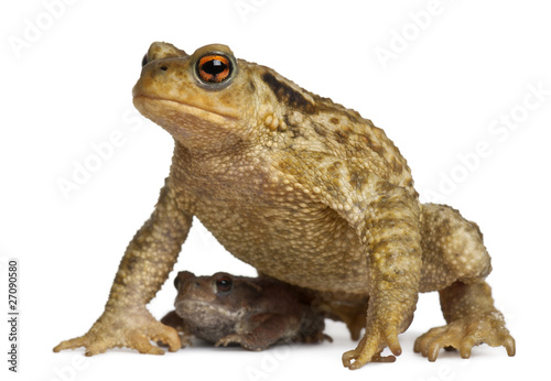 Foto op Canvas Kikker Mother Common toad and her baby, bufo bufo