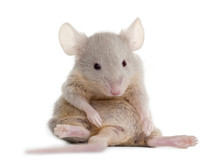 Young Mouse Sitting In Front Of White Background