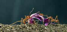 Leaf-cutter Ants, Acromyrmex Octospinosus, Carrying Flower Petal
