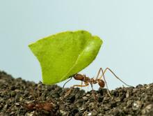 Leaf-cutter Ant, Acromyrmex Oc...