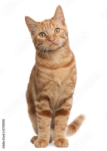 Fotografia Ginger mixed breed cat, 6 months old, sitting