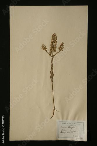 Fotografie, Obraz  herbier crucifère lepidium