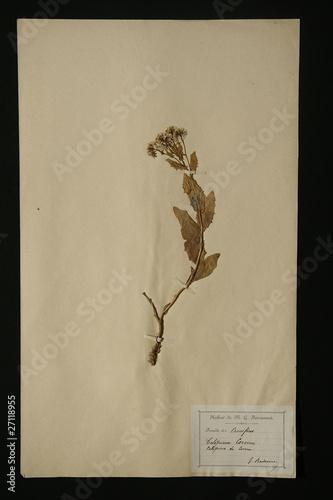 Obraz na plátně herbier crucifère calepine