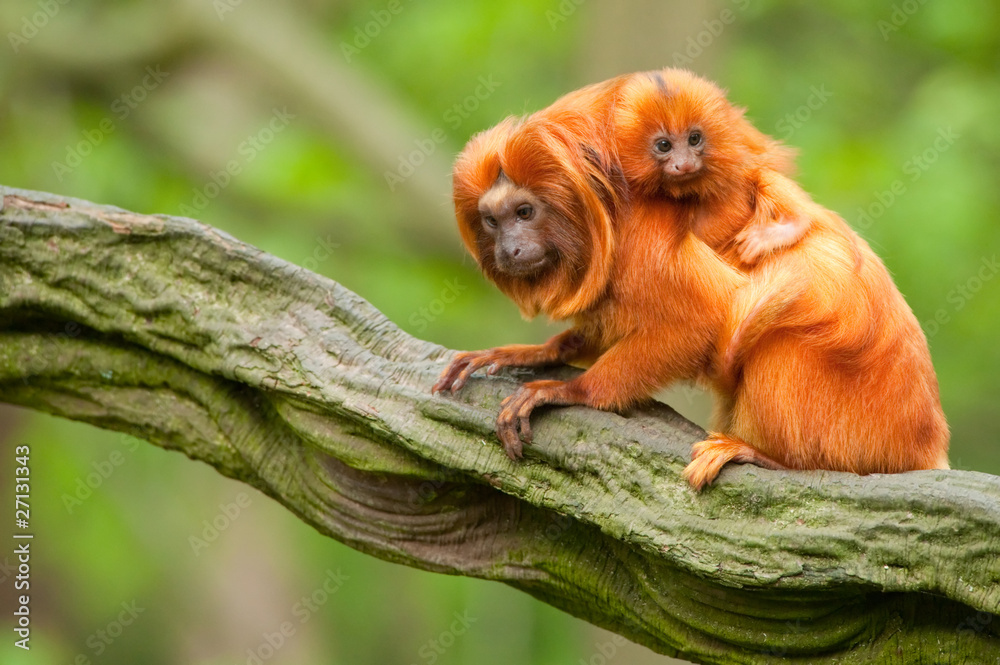 Fototapeta cute golden lion tamarin with baby