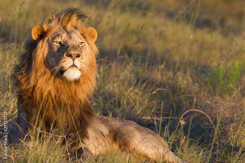 Fotobehang Leeuw Lion male