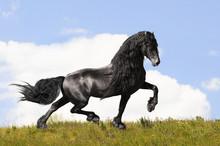 Black Friesian Horse On The Me...