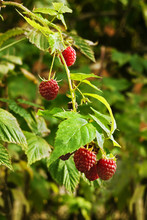 Autumn Raspberries In Autumn Sunshine