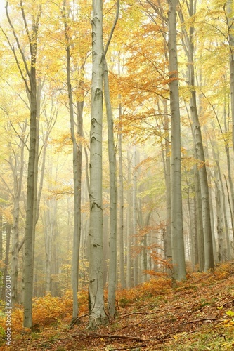 Foto auf Acrylglas Wald im Nebel Beech trees in autumn forest on the slope on a misty day