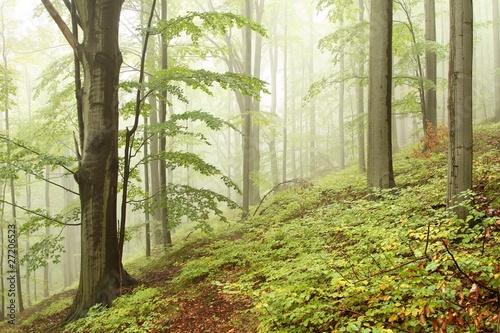 Fototapeta las bukowy-lasek