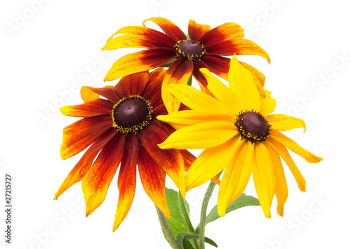 Valokuvatapetti Rudbeckia hirta var angustifolia. Black-eyed Susan isolated on w