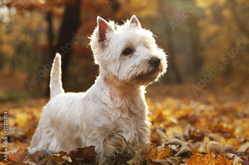Poster Automne West Highland White Terrier - autumn scene