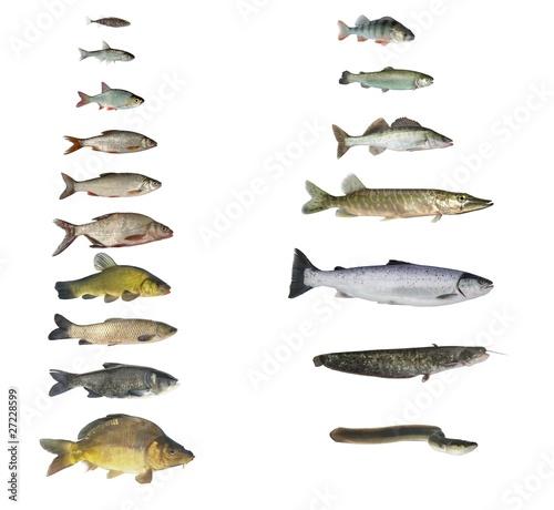 Fotografia, Obraz fish of rivers and lakes