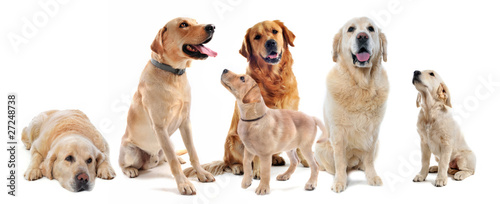 Fotografia labradors et golden retrievers