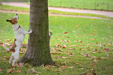 Dog Chasing Squirrel Up A Tree, But It Is Hiding On Other Side