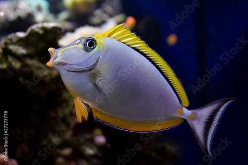 The beautiful fish surgeon in an aquarium