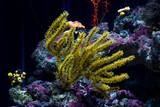Fototapeta Zwierzęta - Menella sea fan