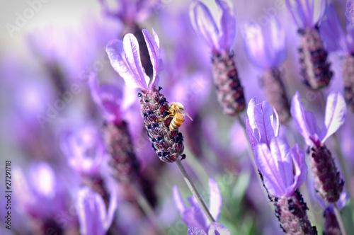 Fotobehang Lavendel Honey Bee on Spanish Lavender