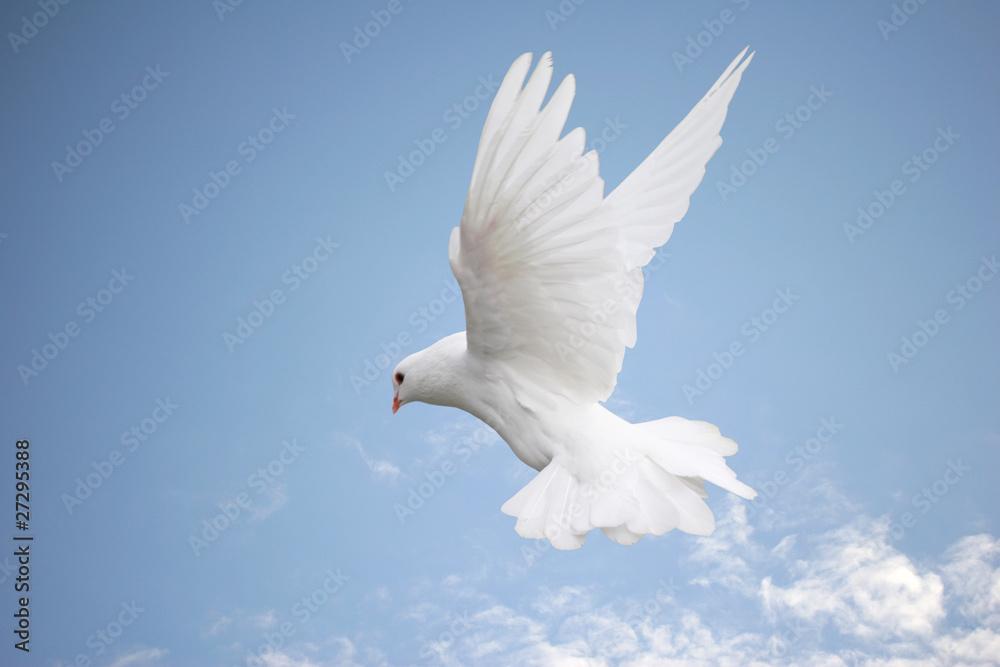 Beautiful white dove in flight