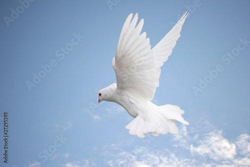 Beautiful white dove in flight