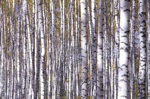 Spoed Fotobehang Berkbosje Yellow birches