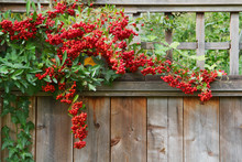 Red Pyracantha Berries Fence C...