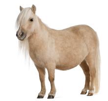 Palomino Shetland Pony, Equus ...