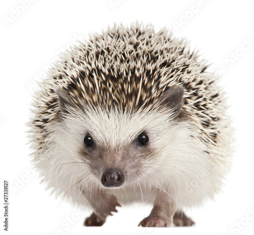 Four-toed Hedgehog, Atelerix albiventris, 2 years old Tableau sur Toile